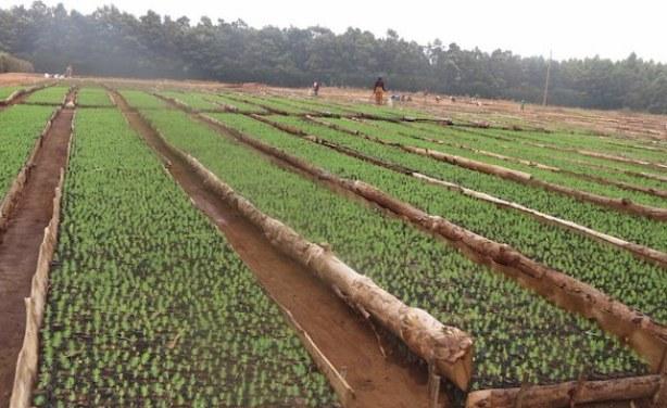tanzania piantine per riforestazione